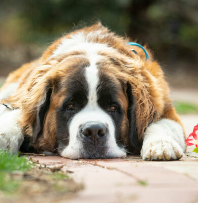 A twisted web: Teasing out the impacts of CBD on canine seizures