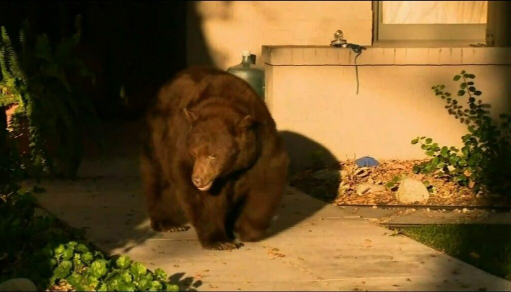 Bear that strolled through CA community is back in forest where he belongs